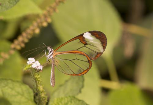 vlinder doorzichtig