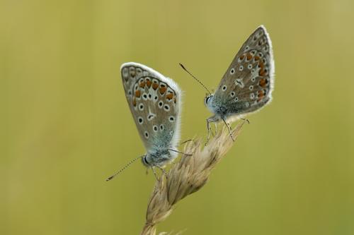 vlinder duo
