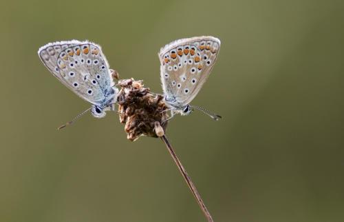 vlinder duo2