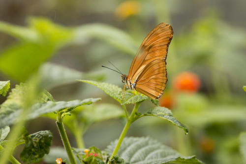 oranje vlinder2