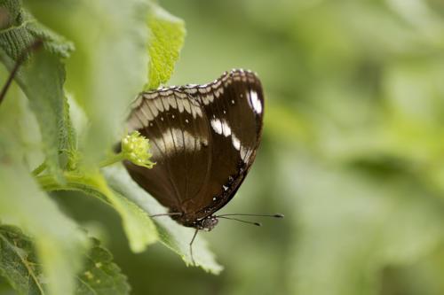 vlinder bruin