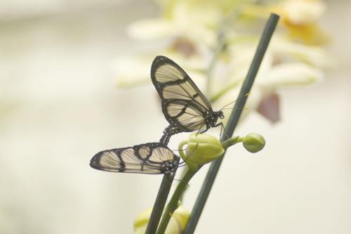 vlinder paring3